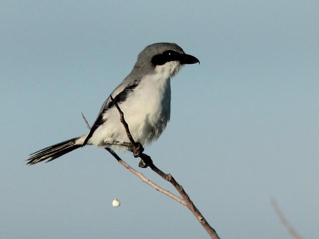 Loggerhead Shrike 20110923