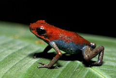 Valiente Strawberry Dart Frog (J.P. Lawrence Photography) Tags: rain del forest warning strawberry berry rainforest colorful straw frog frogs tropical arrow panama poison peninsula dart toro tropics herp dendrobates herps poisonous herpetology coloration valiente bocas anura dendrobatidae anuran aposematic pumilio dendrobatid oophaga