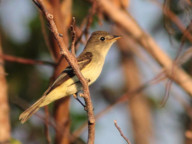 Flycatcher 20110923