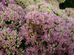 P 75 Standen National Trust  RH19 4NE (vic1871) Tags: flowers bees sedum honeybees honeybeeatwork standennt