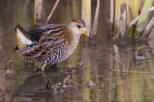 Sora in the Reeds by Jeff Dyck