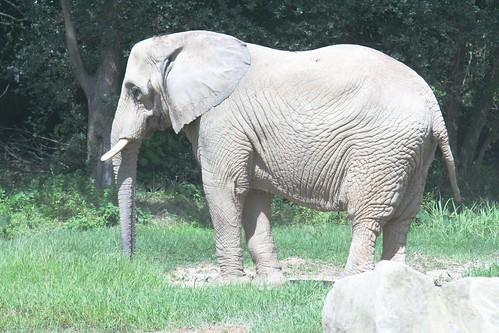 アフリカゾウ/Loxodonta africana