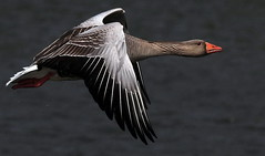 FLIGHT OF THE GREYLAG (SNAPDECISIONS !) Tags: wildlife goose avian wildbirds greylaggoose britishbirds birdphotos birdsofthebritishisles snapdecisions theworldofbirds birdsofbritonandeurope stunningphotogpin