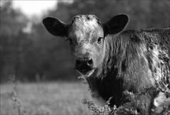 Mama's eyes (Jenny!) Tags: cow calf limousin hengelo jennydegroot driene zwavertsweg