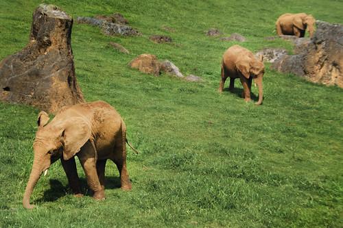 Three elephants in line. Cabárceno, Cantabria. Tres elefantes en línea