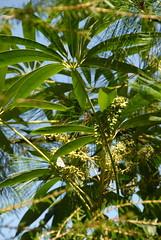 Schefflera taiwaniana (Nakai) Kaneh.  ()   20110918_1 (plj.johnny/) Tags: plants plant taiwan   hehuanshan