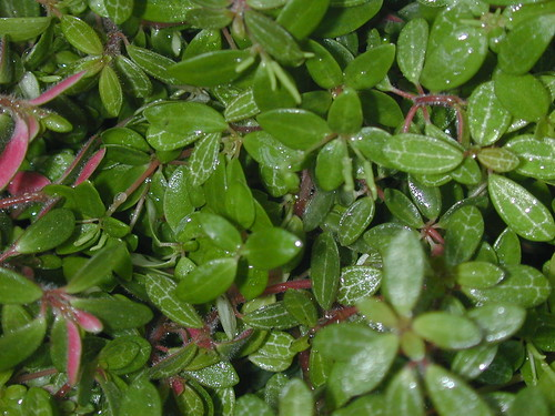 Peperomia rubella by Jane Young