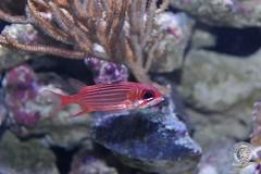 Juvenile squirrel fish