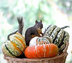 Happy Autumn! (Peggy Collins) Tags: autumn canada fall smile smiling pumpkin squirrel basket bokeh britishcolumbia harvest gourd squash pacificnorthwest penderharbour tipsy sunshinecoast fallharvest douglassquirrel anawesomeshot peggycollins gourdsinbasket squashesinbasket