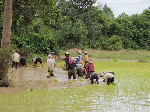 Cambodia Rice Paddy