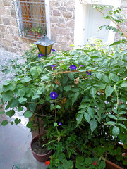 189 flora of Molyvos - front step of our apartment (Mark & Naomi Iliff) Tags: greece ελλάδα lesvos lesbos λέσβοσ mithymna μηθυμνα molyvos μολυβοσ machisguesthouse ελλαδα