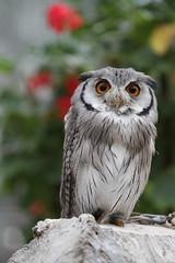 Southern white faced scops owl (Takashi(aes256)) Tags: bird owl shizuoka koko 鳥 kakegawa kachoen 静岡 フクロウ 花鳥園 ココ 掛川 southernwhitefacedscopsowl canoneos7d アフリカオオコノハズク canonef100mmf28lmacroisusm allnaturesparadise