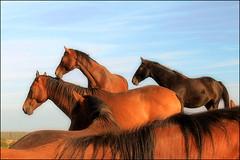 Op de Molenplaat (33) (Duevel) Tags: horses cheval hill ngc natuur bergenopzoom chevaux paarden heuvel canon60d molenplaat