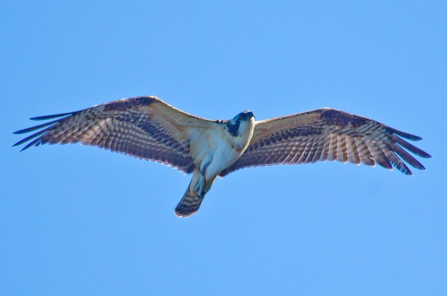 Red Tail Hawk over Lake Sammamish