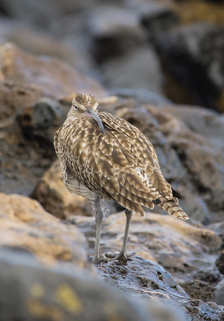 whimbrel tucked up