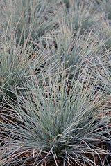 Festuca glauca 'Elijah Blue' (Melissa-Gale) Tags: california blue grass photography nursery gray melissa gale foliage poaceae wholesale perennial arroyogrande berard glauca festuca fescue bluefescue nativesons elijahblue commonbluefescue grayfescue mg00654