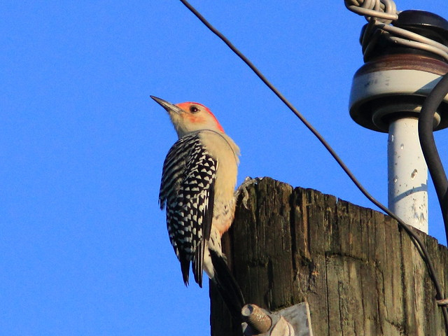 Red-bellied Woodpecker 20111001