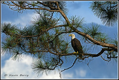 Sittin' Pretty (Kevin B Photo) Tags: wild usa cloud plant color tree bird nature beautiful beauty birds horizontal closeup clouds america outdoors photography one colorful day alone exterior unitedstates natural florida native wildlife south wing baldeagle southern pines perch daytime perched fl winged avian serenitynow kevinbarry wowiekazowie threelakeswildlifemanagementarea