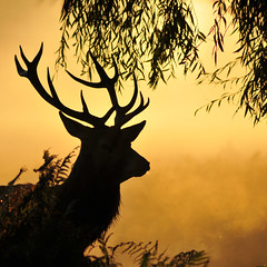 Bushy Park stag (Paul Warrington) Tags: autumn mist stag deer bushypark royalpark