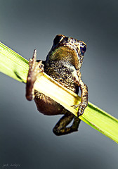 Little frog tries not to fall down of a blade of grass (Jack Duchy) Tags: color macro eye nature grass animal canon studio jack deutschland amazing cool funny foto little small hitler tube super frog climbing toad 200 7d l gras blade mm makro regensburg 70 frosch f28 klettern duchy erde halm backround krte kenko frogy speelite extansion duchys mitterfinger