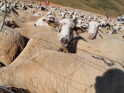 La tria de l'ovella