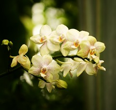 Orchids (j man ) Tags: life flowers friends white man flower macro green art nature floral beautiful field rain gardens closeup lens botanical photography j petals drops flickr dof view orchids artistic bokeh shots background sony details blossoms group stlouis favorites lovers missouri dew views buds 60mm tamron depth comments a300 vistors mygearandme beautiflower