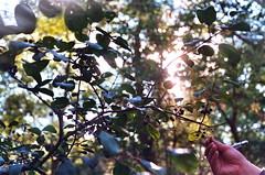 (Lola K.) Tags: ohio summer sun tree film 35mm ray hand bokeh olympus oberlin buckthorn oberlinohio oberlincollege