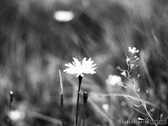 Monochromatic Garden #5 (Darius Anton Morpork) Tags: bw pen garden olympus m42 grayscale fujinon ep2 fujinon55mmf18
