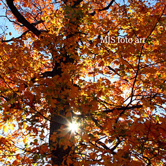 Colorful Canopy #271 (mjsfotoart) Tags: blue autumn red sky orange brown sun color tree green fall colors up leaves sunshine yellow mi gold grey golden leaf shiny colorful ray branch shine michigan branches gray bark trunk rays canopy shining starburst treetop menominee uppermichigan mjsfotoart markjseefeldt hennespark