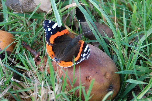 red admiral2
