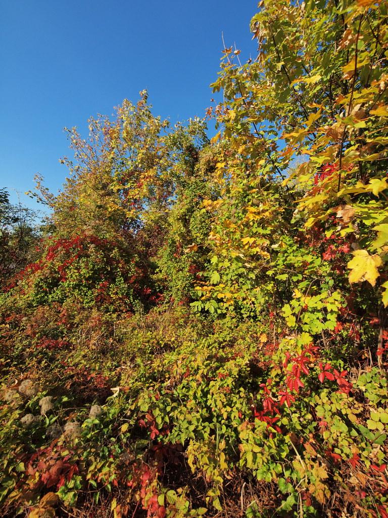 Brownlands: Acer pseudoplatanus + Parthenocissus inserta + Clematis vitalba + Rubus caesius (48°08' N 16°27' E)
