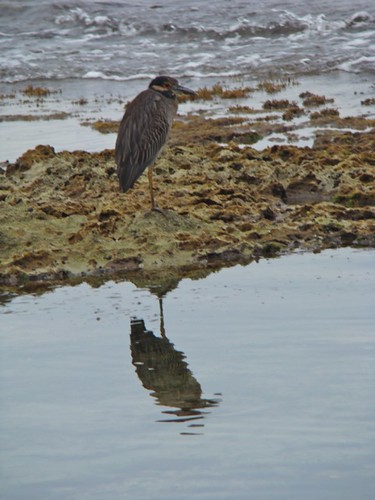 Martinete cabecipinto (Nyctanassa violacea), Yellow-crowned Night-Heron