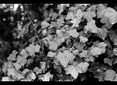 Creeper {Explore!} (majestiele) Tags: white black film college pentax k1000 ivy variegated creeping pan400