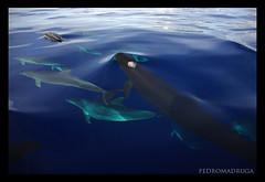 Pseudorca crassidens/Delphinus delphis/ Tursiops truncatus (PedroMadruga) Tags: