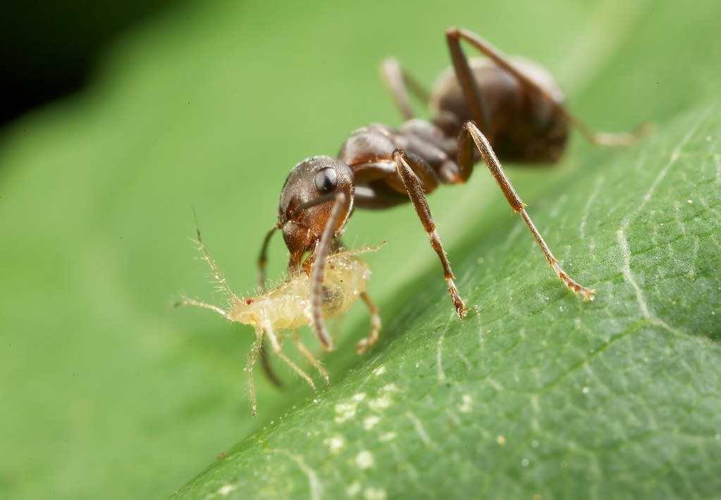 buchnera and aphids relationship tips