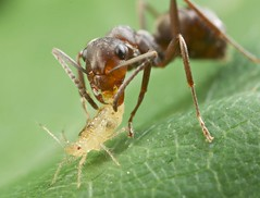 Ant carrying aphid 12 (pbertner) Tags: macro nature photography moving holding wildlife insects aphid symbiotic carrying macrography hymenoptera homoptera bcbc canadacanada mutualism macrolife entomologyant winfieldwinfield