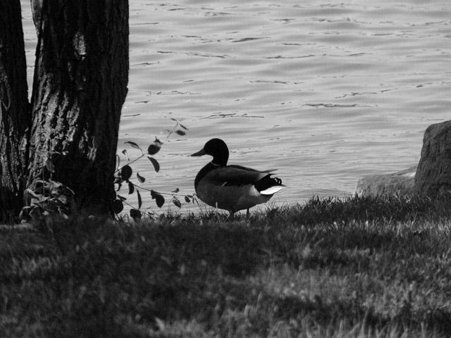 070523_duck_bw