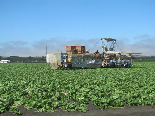 Harvesting Iceberg lettuce
