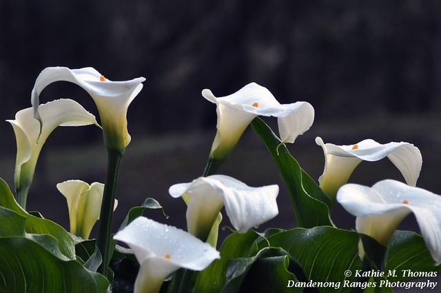 Lilies on display