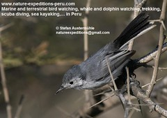 Tropical gnatcatcher Birding_Peru_337 (Nature Expeditions 06) Tags: trip vacation bird peru nature major holidays tour birding stefan tropical trips guide gnatcatcher expeditions polioptila bilineata birdguide tropicalgnatcatcher polioptilaplumbea plumbea polioptilidae parvirostris natureexpeditions birdinginperu austermhle birdingperu polioptilaplumbeabilineata polioptilaplumbeaparvirostris polioptilaplumbeamajor gnatcatchersofperu
