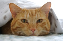 Tommy (Claudio Cavalensi) Tags: cat gatti yahoo:yourpictures=animalcloseups