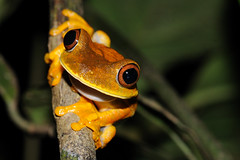 Map treefrog (asnyder5) Tags: nature nikon rainforest wildlife conservation amphibian guyana frog monitor research jungle redd biology herp biodiversity herpetology hyla iwokrama operationwallacea opwall hypsiboas andrewsnyder maptreefrog hypsiboasgeographicus hylageographica guianashield asnyder5 andrewmsnyder