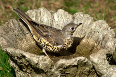 Mistle Thrush (rosyrosie2009) Tags: england birds photography birdbath explore gettyimages looe westcountry mistlethrush turdusviscivorus tamronaf70300mmf456dildmacro tamron70300mmlens nikond5000 rosiespooner rosyrosie2009 rosemaryspooner rosiespoonerphotography
