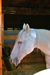 Shelbure Farm (Kadeefoto) Tags: horse fall shelburnefarm farm massachusetts applepicking stowema