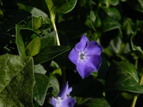 Violeta  by Carlos Navarro C.