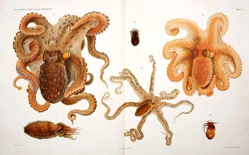005-I Cefalopodi viventi nel Golfo di Napoli-1896-Giuseppe Jatta