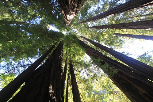 Redwood trees at Muir Woods, San Francisco