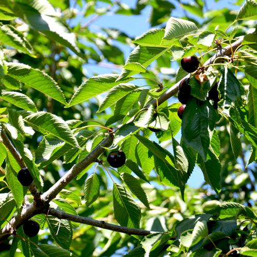 Cherry picking at Flathead Lake