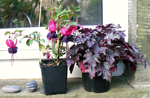 Fuchsia Voodoo and Heuchera