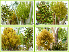 Collage: flowers/fruits of Pritchardia pacifica (Fiji/Pacific Fan Palm), at various stages of growth - Sept 20 2011